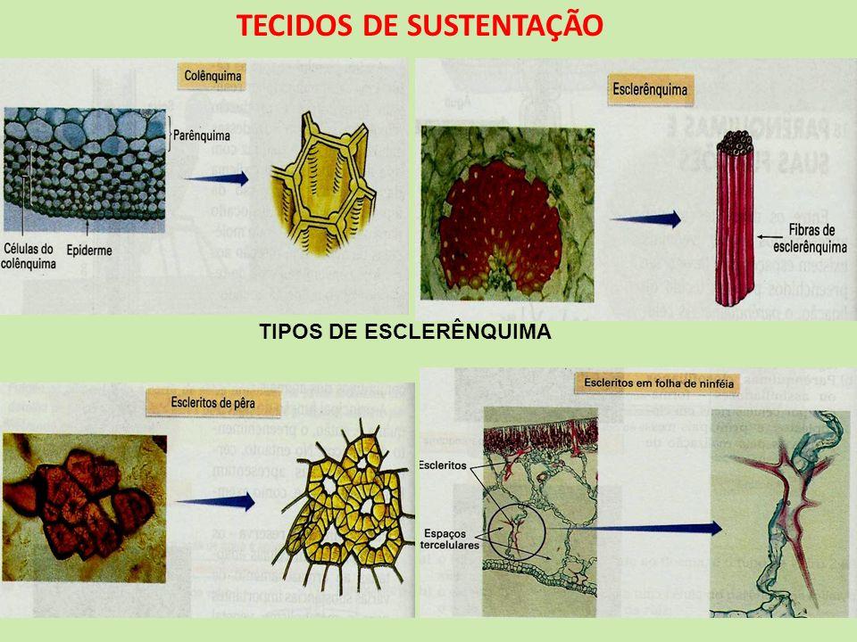 TECIDOS DE SUSTENTAÇÃO TIPOS DE ESCLERÊNQUIMA