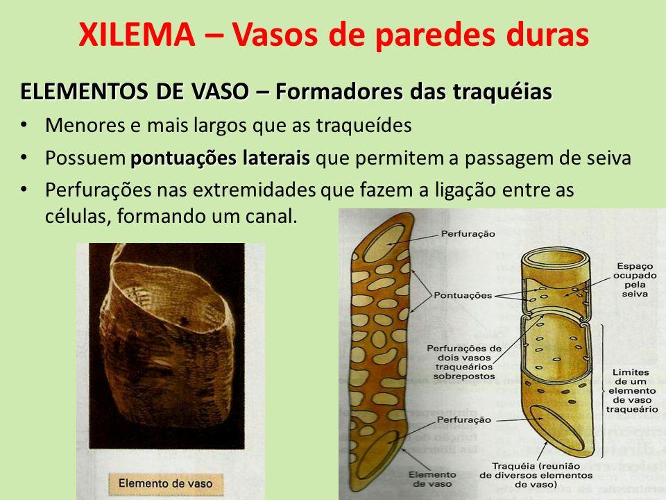 XILEMA – Vasos de paredes duras