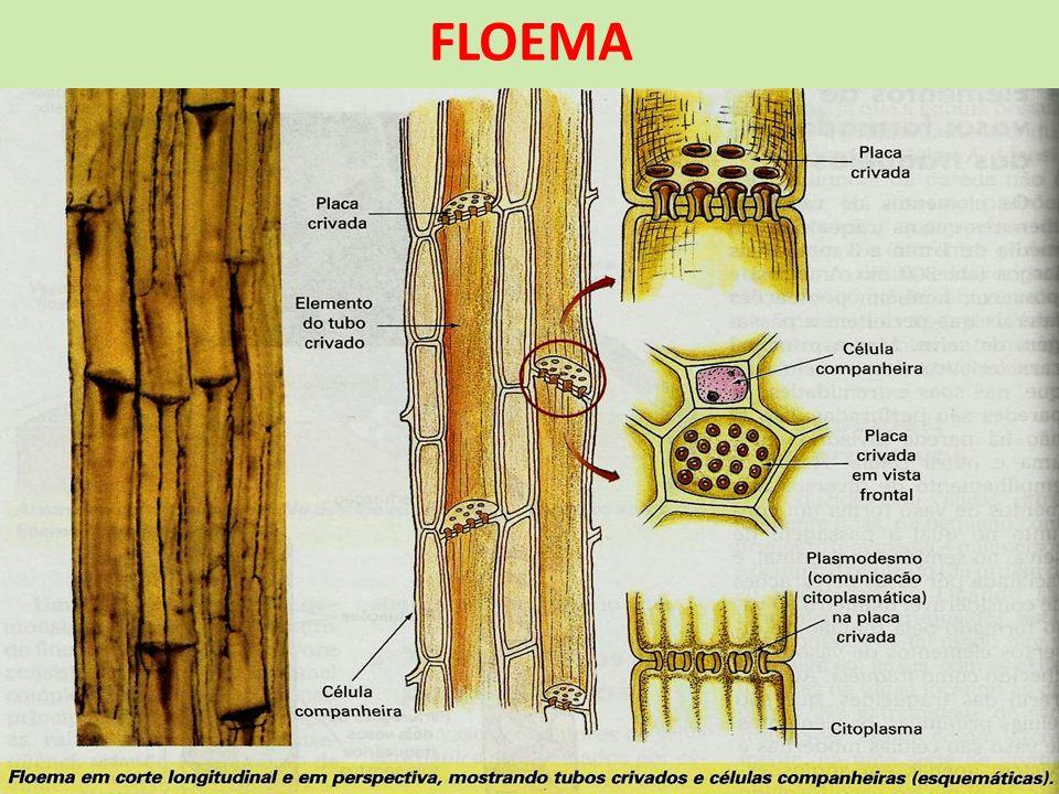 FLOEMA