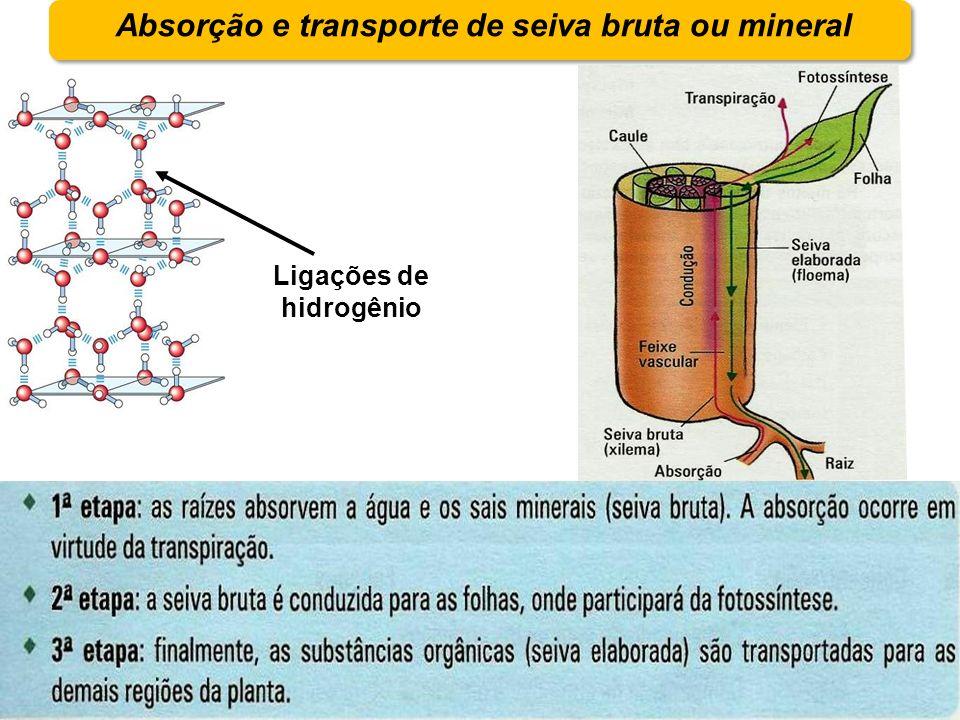 Absorção e transporte de seiva bruta ou mineral Ligações de hidrogênio