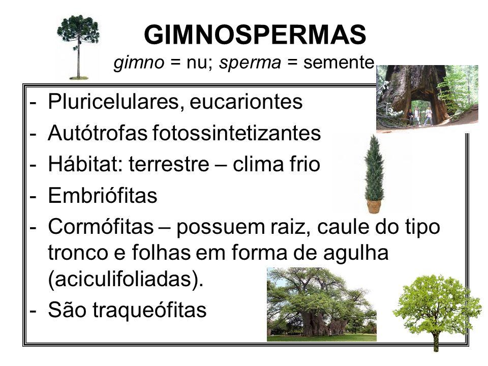 GIMNOSPERMAS gimno = nu; sperma = semente