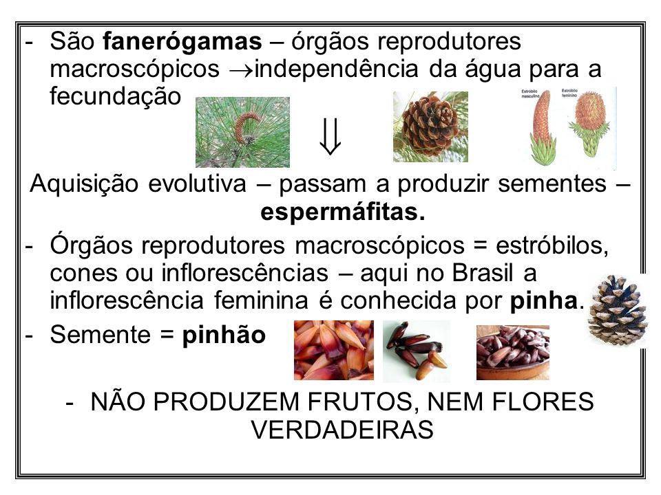 São fanerógamas – órgãos reprodutores macroscópicos independência da água para a fecundação
