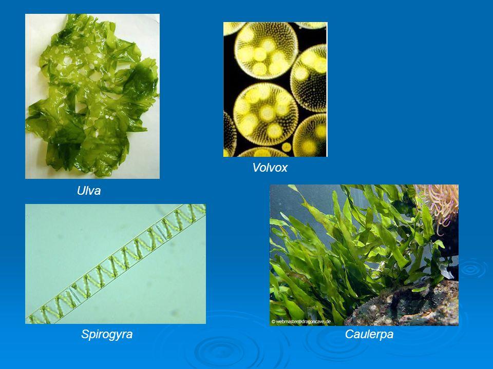 Ulva Volvox Caulerpa Spirogyra