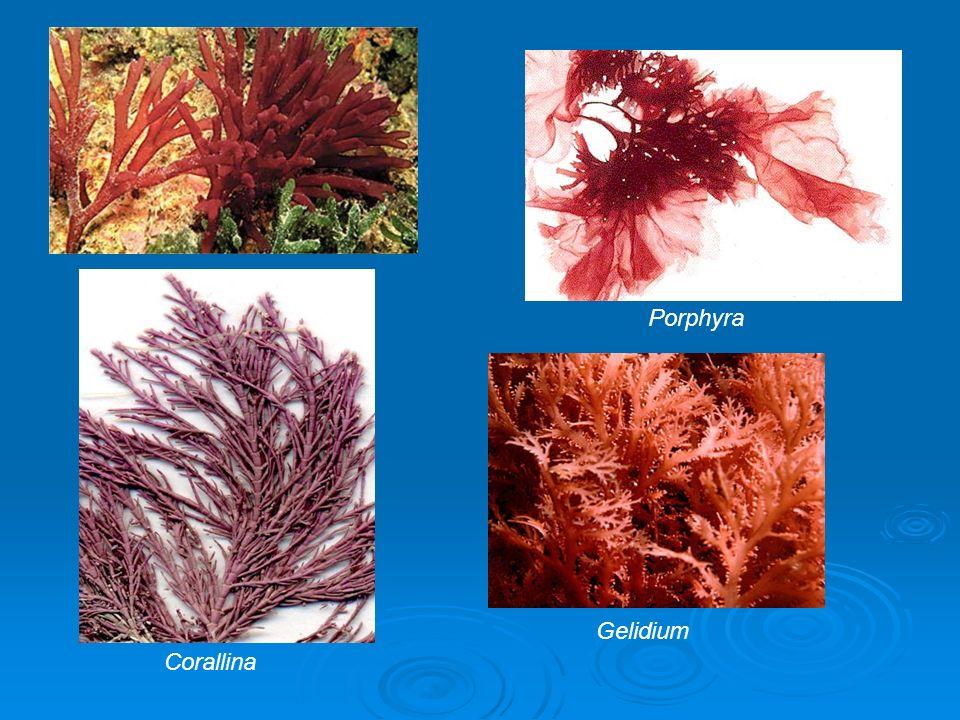 Porphyra Corallina Gelidium