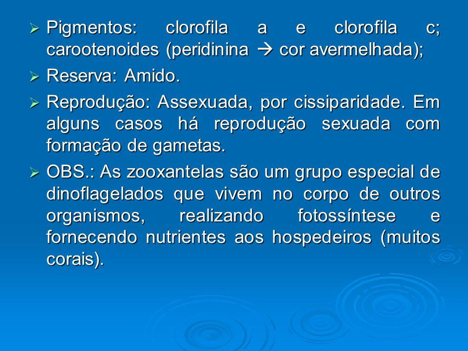 Pigmentos: clorofila a e clorofila c; carootenoides (peridinina  cor avermelhada);