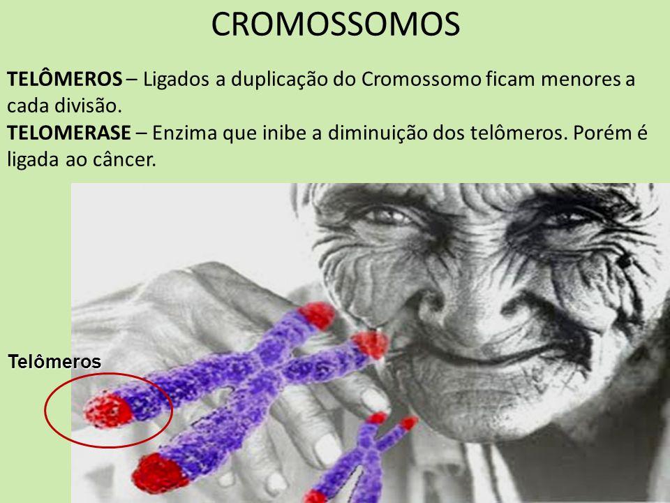 CROMOSSOMOS TELÔMEROS – Ligados a duplicação do Cromossomo ficam menores a cada divisão.