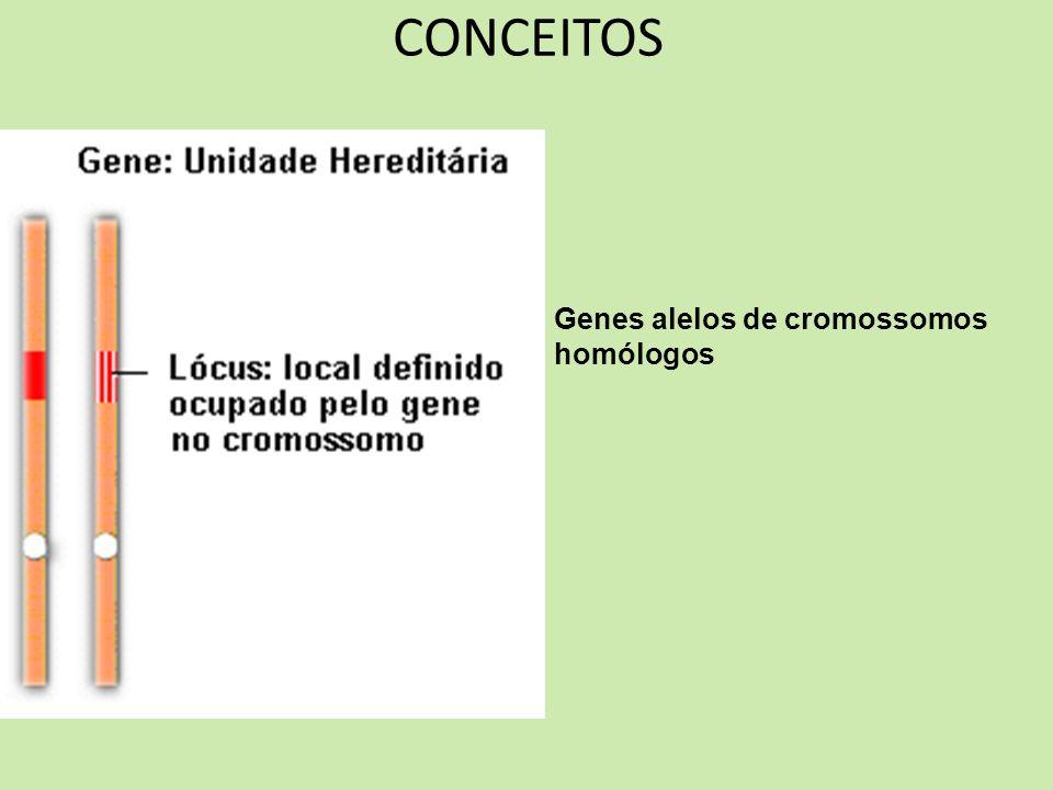 CONCEITOS Genes alelos de cromossomos homólogos