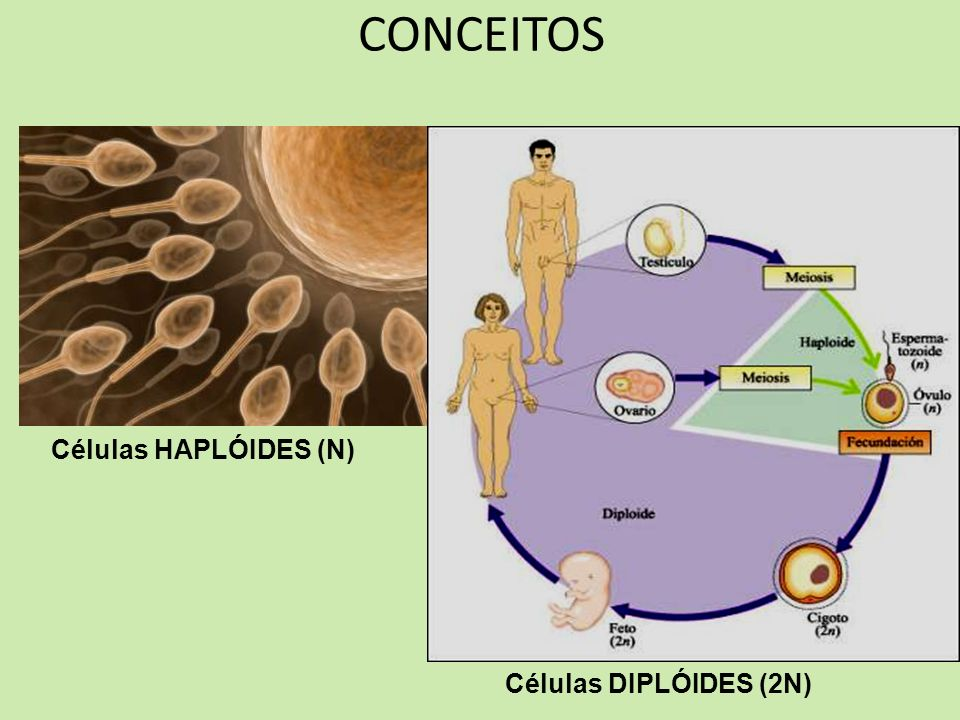 CONCEITOS Células HAPLÓIDES (N) Células DIPLÓIDES (2N)