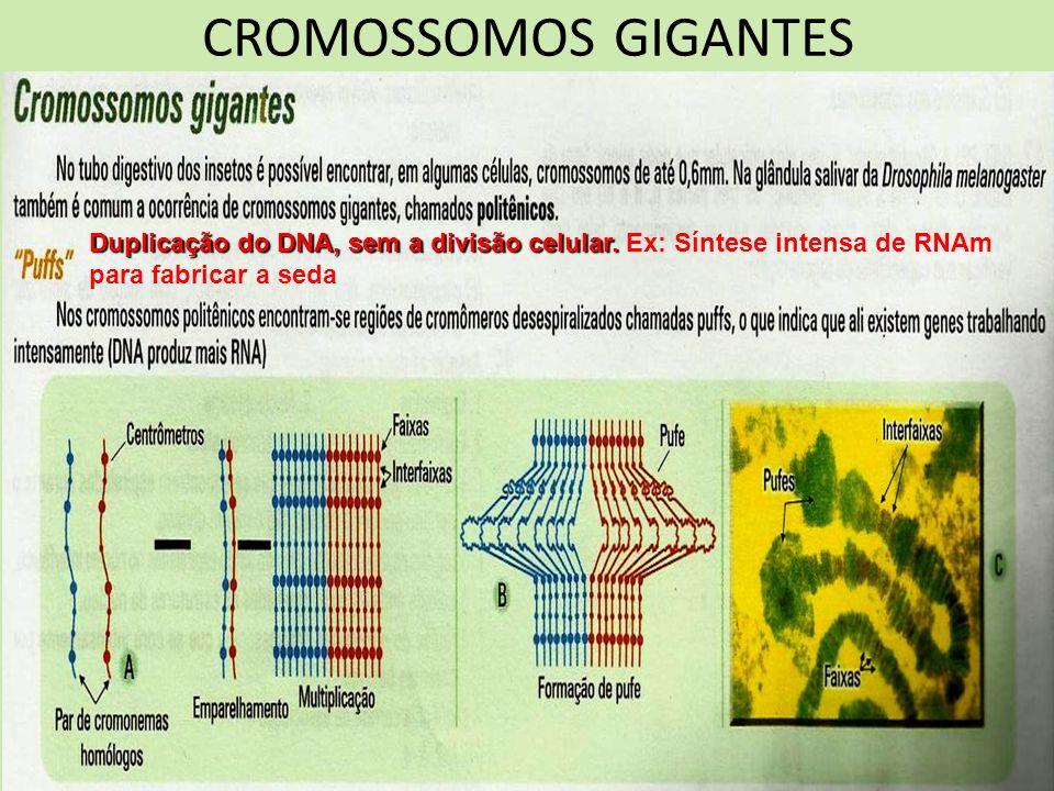 CROMOSSOMOS GIGANTES Duplicação do DNA, sem a divisão celular.