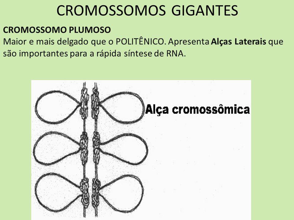 CROMOSSOMOS GIGANTES CROMOSSOMO PLUMOSO