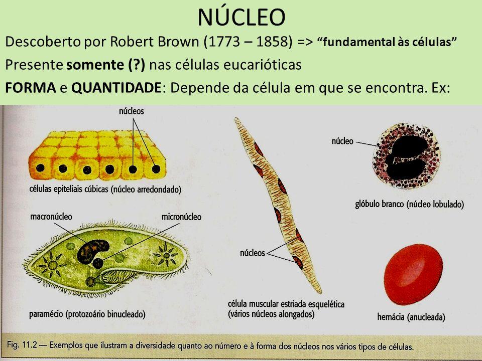 NÚCLEO Descoberto por Robert Brown (1773 – 1858) => fundamental às células Presente somente ( ) nas células eucarióticas.