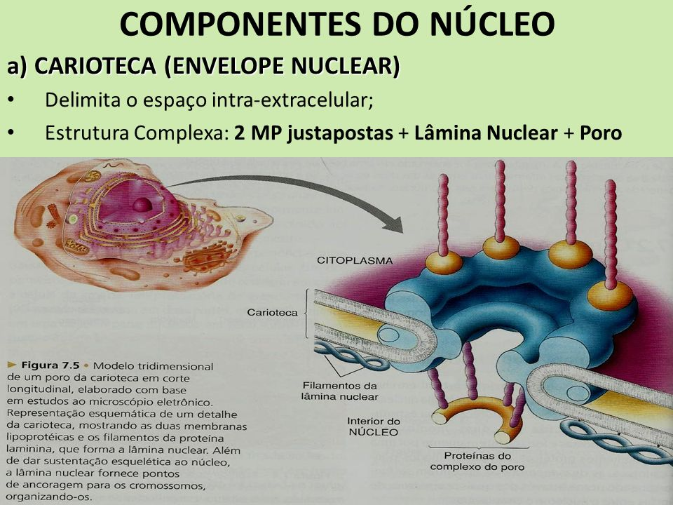 COMPONENTES DO NÚCLEO a) CARIOTECA (ENVELOPE NUCLEAR)