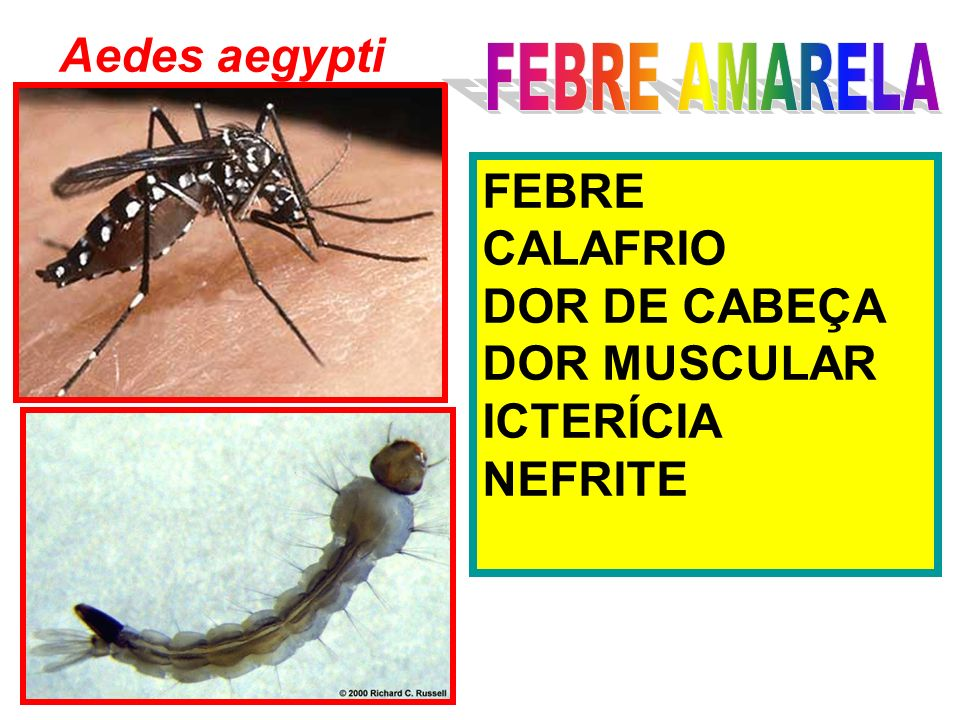 Aedes aegypti FEBRE AMARELA FEBRE CALAFRIO DOR DE CABEÇA DOR MUSCULAR ICTERÍCIA NEFRITE