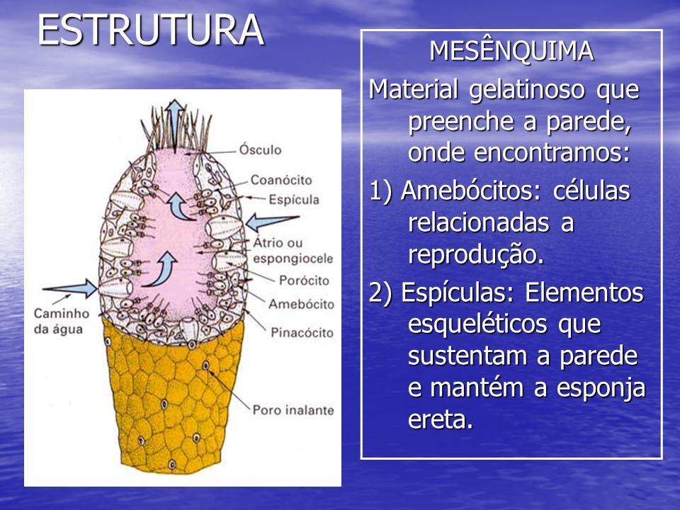 ESTRUTURA MESÊNQUIMA. Material gelatinoso que preenche a parede, onde encontramos: 1) Amebócitos: células relacionadas a reprodução.
