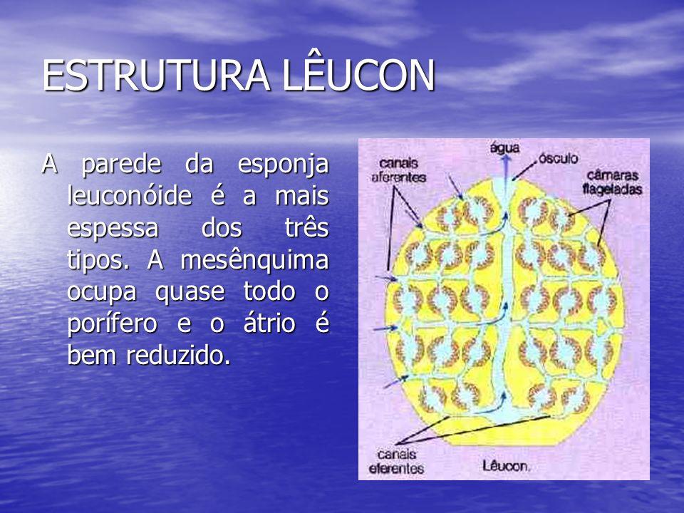 ESTRUTURA LÊUCON A parede da esponja leuconóide é a mais espessa dos três tipos.