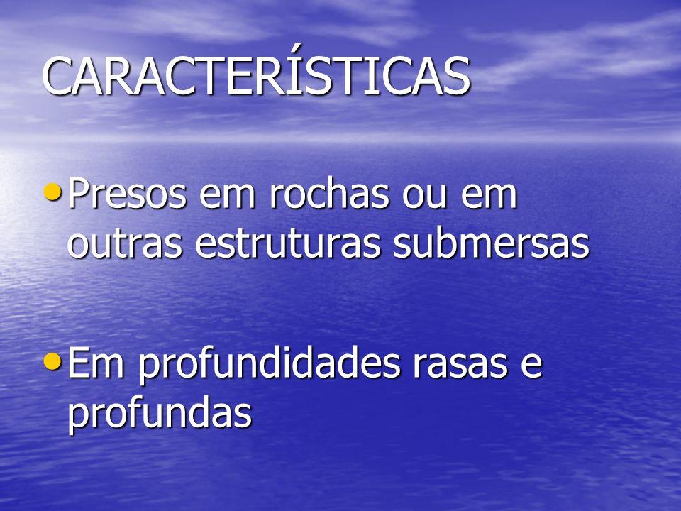 CARACTERÍSTICAS Presos em rochas ou em outras estruturas submersas