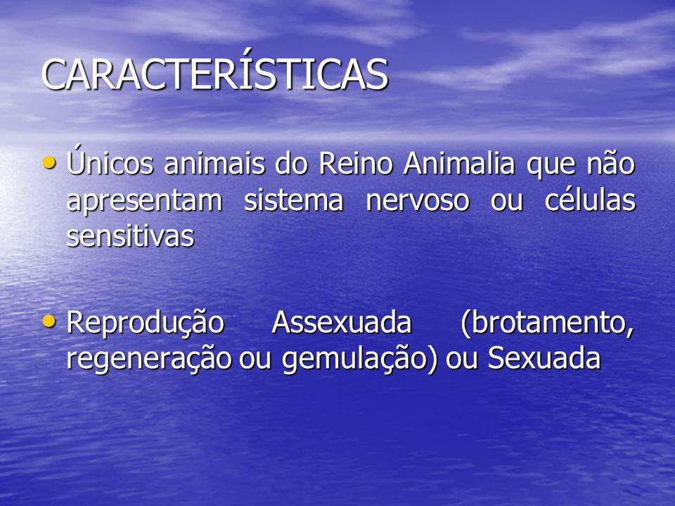 CARACTERÍSTICAS Únicos animais do Reino Animalia que não apresentam sistema nervoso ou células sensitivas.