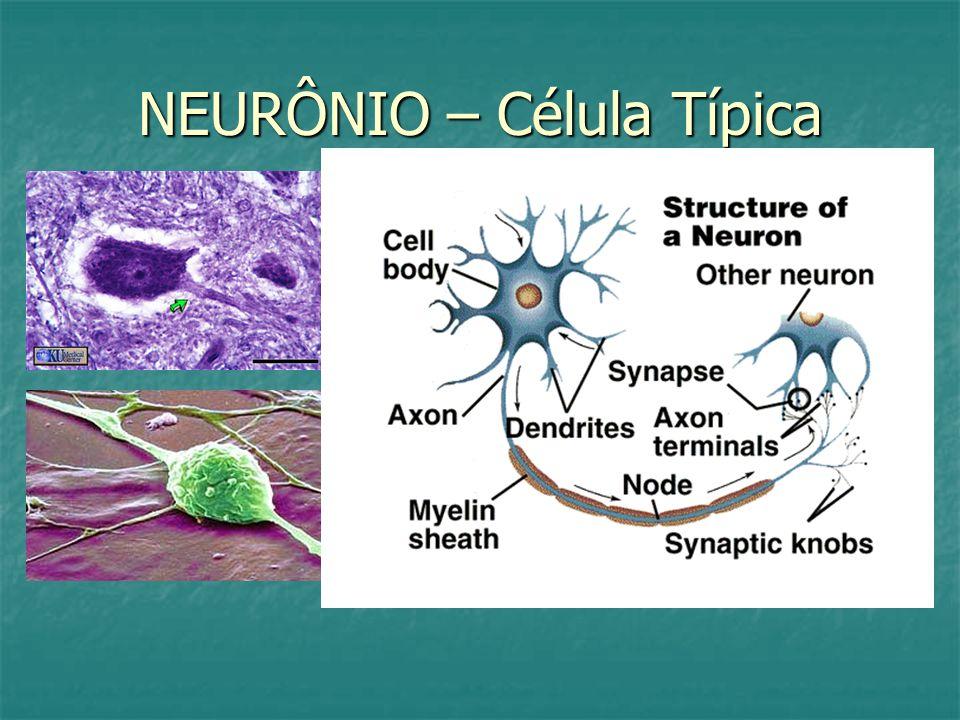 NEURÔNIO – Célula Típica