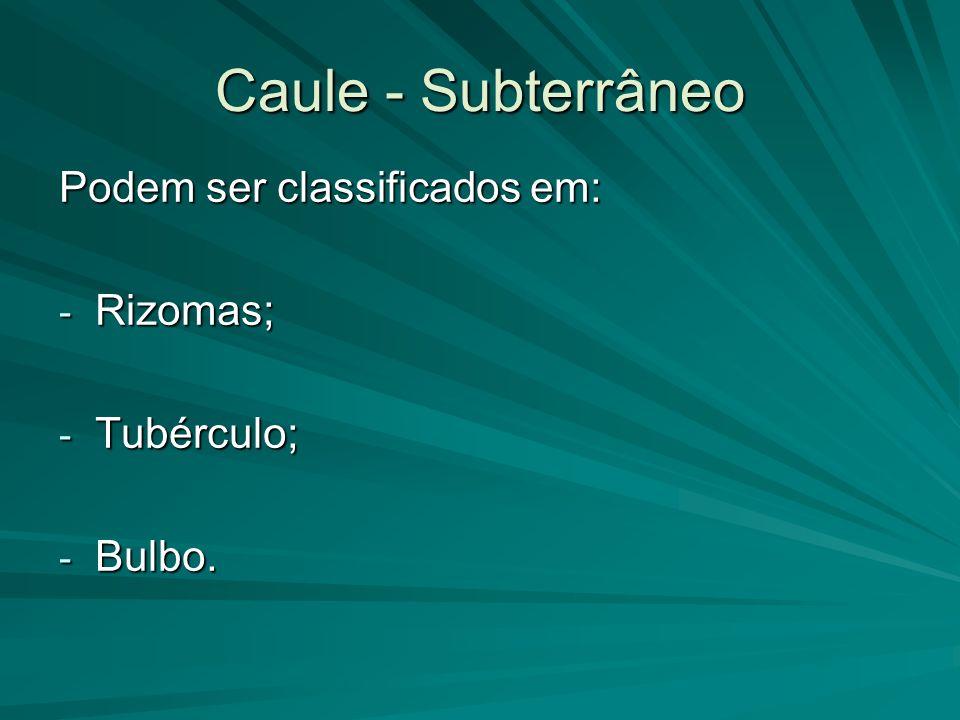 Caule - Subterrâneo Podem ser classificados em: Rizomas; Tubérculo;