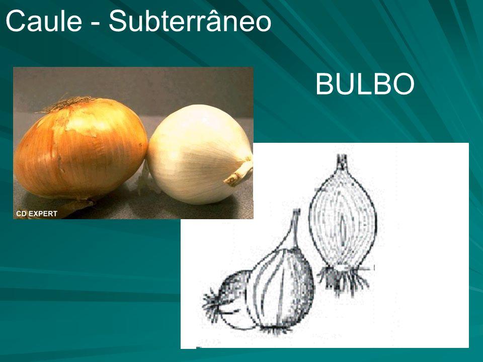 Caule - Subterrâneo BULBO