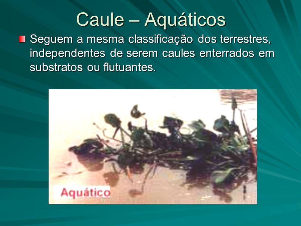 Caule – Aquáticos Seguem a mesma classificação dos terrestres, independentes de serem caules enterrados em substratos ou flutuantes.