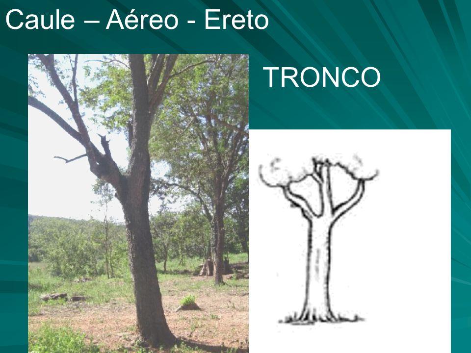 Caule – Aéreo - Ereto TRONCO