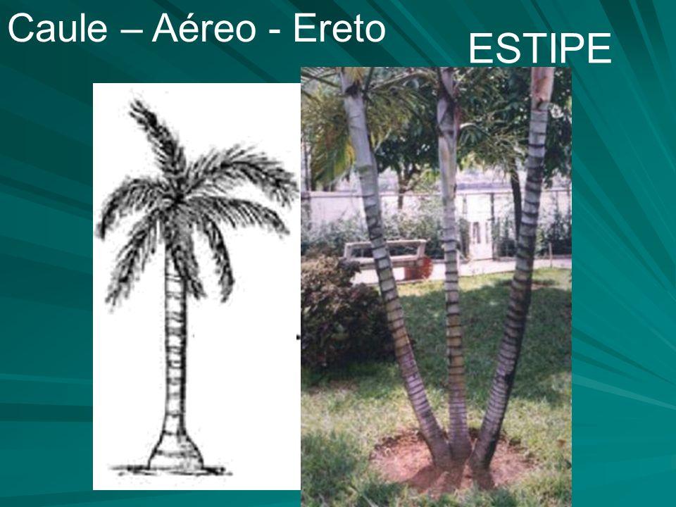 Caule – Aéreo - Ereto ESTIPE