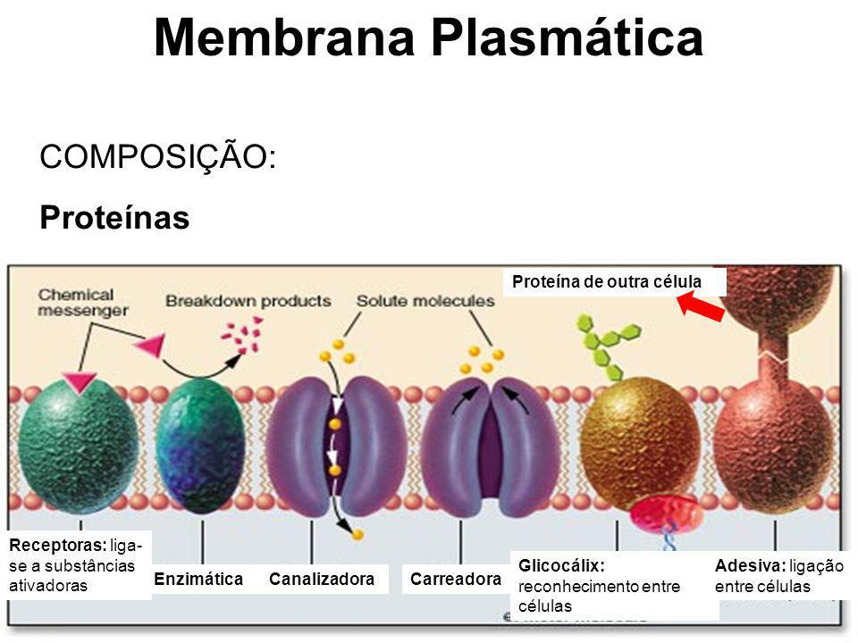 Membrana Plasmática COMPOSIÇÃO: Proteínas Proteína de outra célula