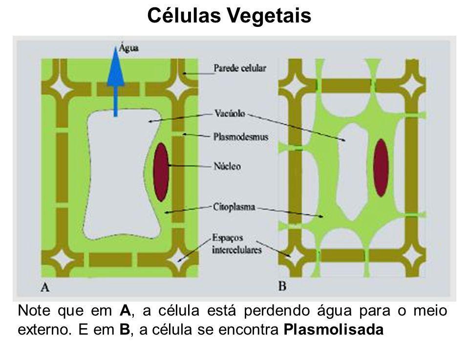 Células Vegetais Note que em A, a célula está perdendo água para o meio externo.