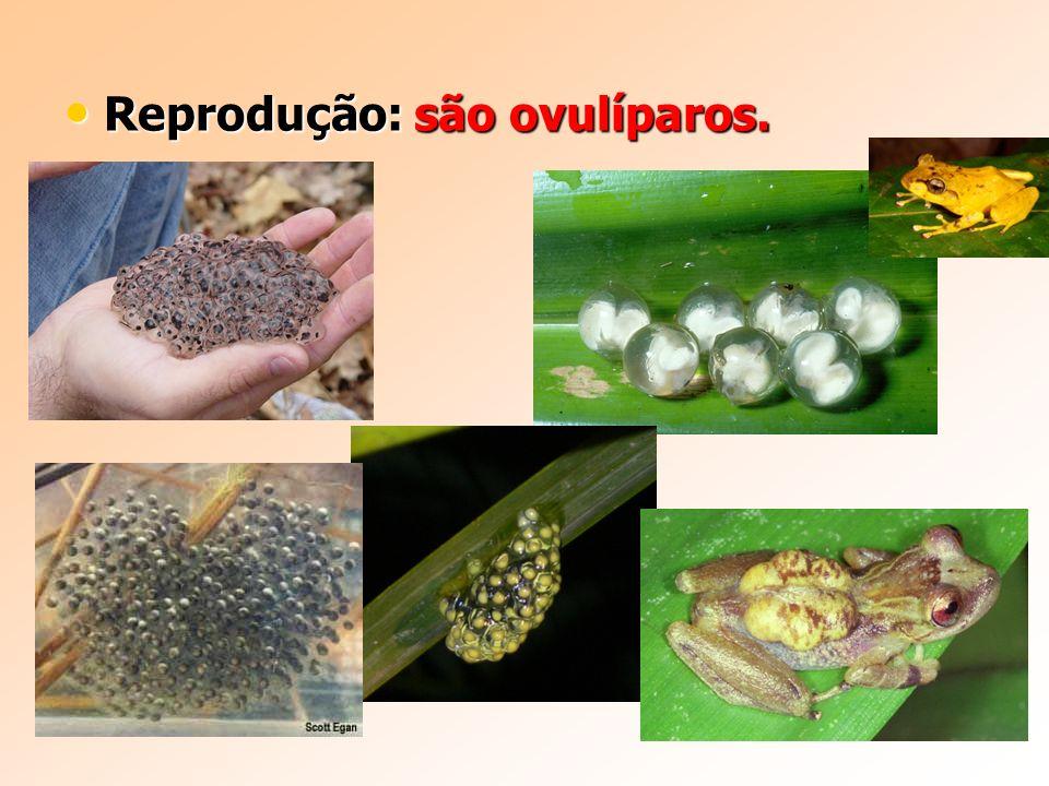 Reprodução: são ovulíparos.