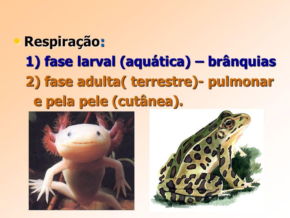 Respiração: 1) fase larval (aquática) – brânquias.