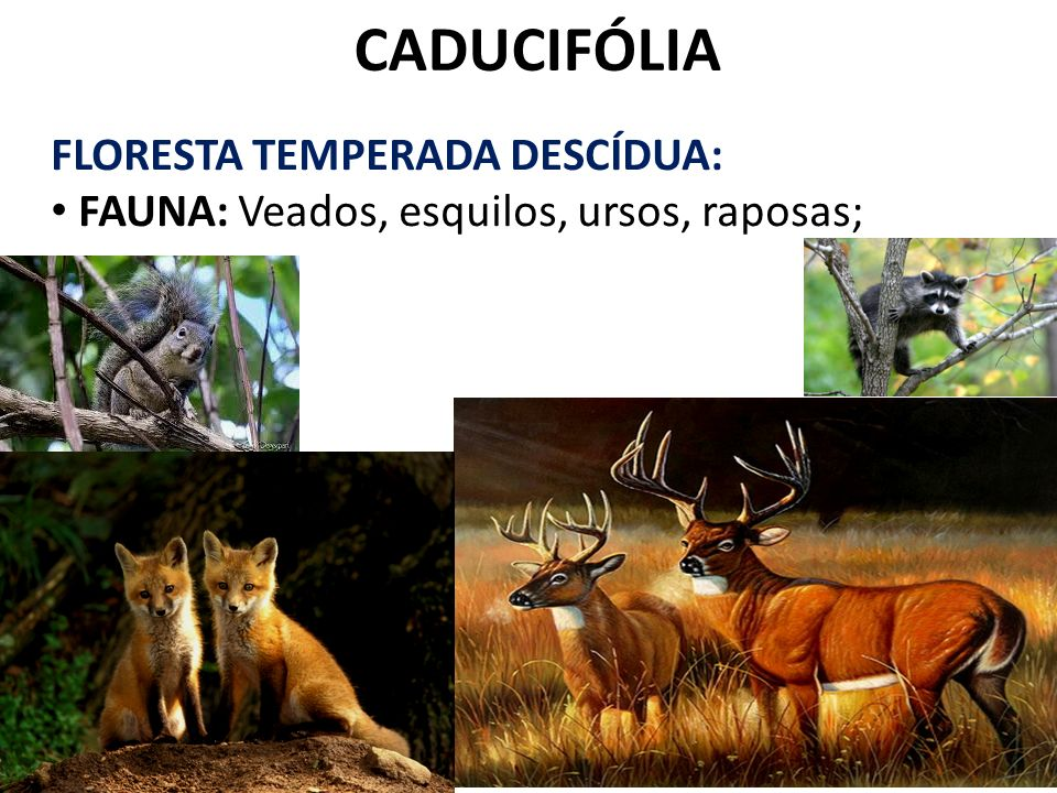 CADUCIFÓLIA FLORESTA TEMPERADA DESCÍDUA: