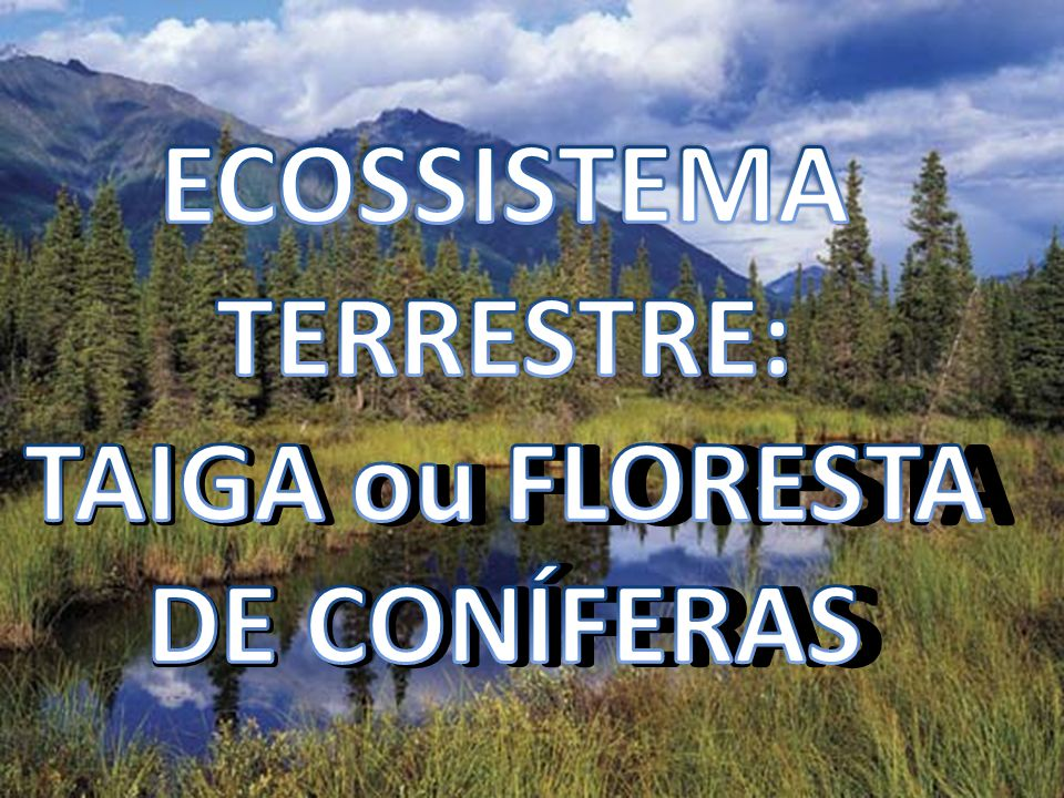 ECOSSISTEMA TERRESTRE: TAIGA ou FLORESTA DE CONÍFERAS