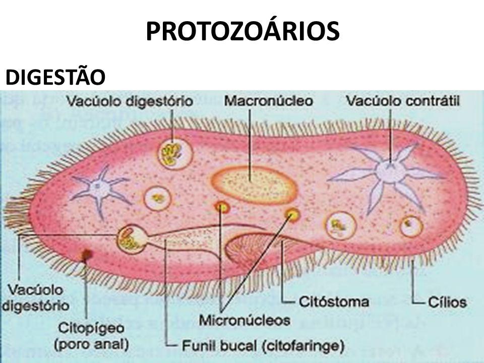 PROTOZOÁRIOS DIGESTÃO