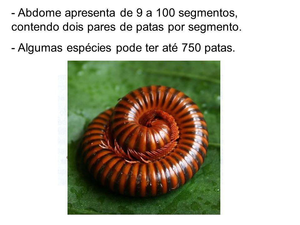 Abdome apresenta de 9 a 100 segmentos, contendo dois pares de patas por segmento.
