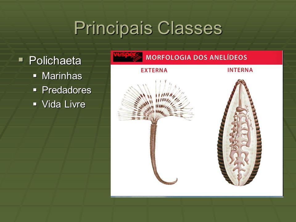 Principais Classes Polichaeta Marinhas Predadores Vida Livre
