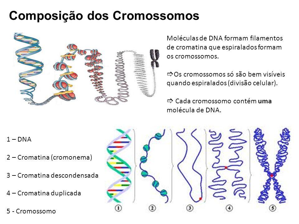 Composição dos Cromossomos