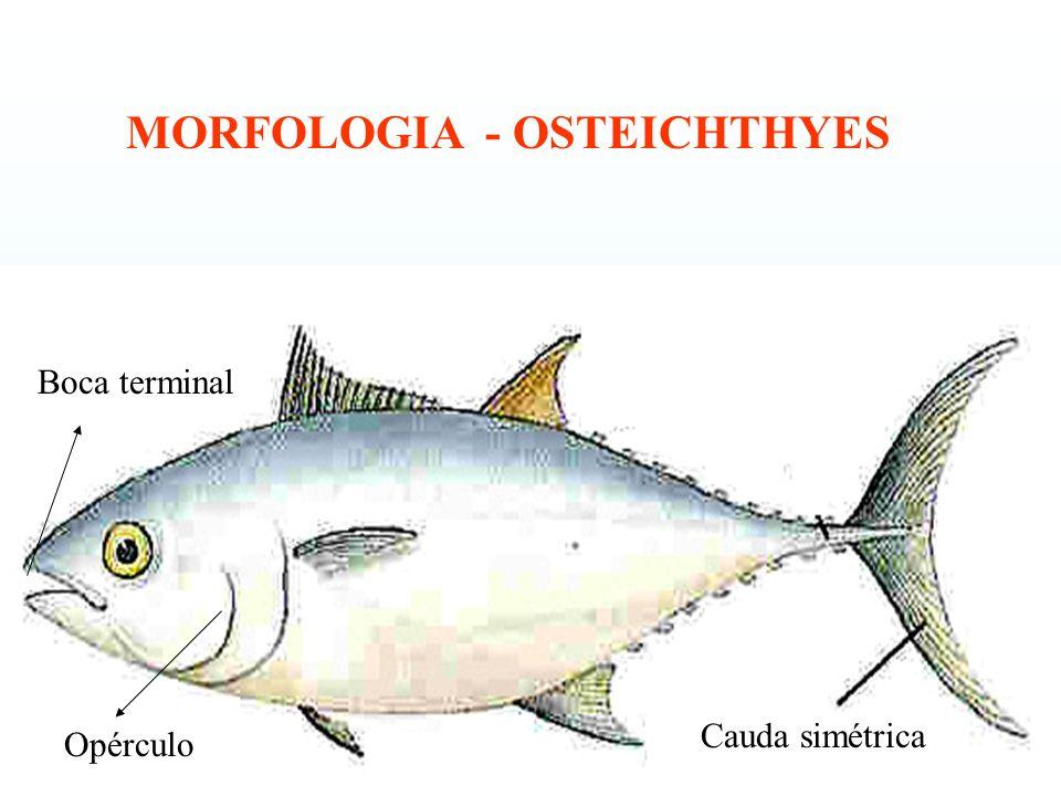 MORFOLOGIA - OSTEICHTHYES
