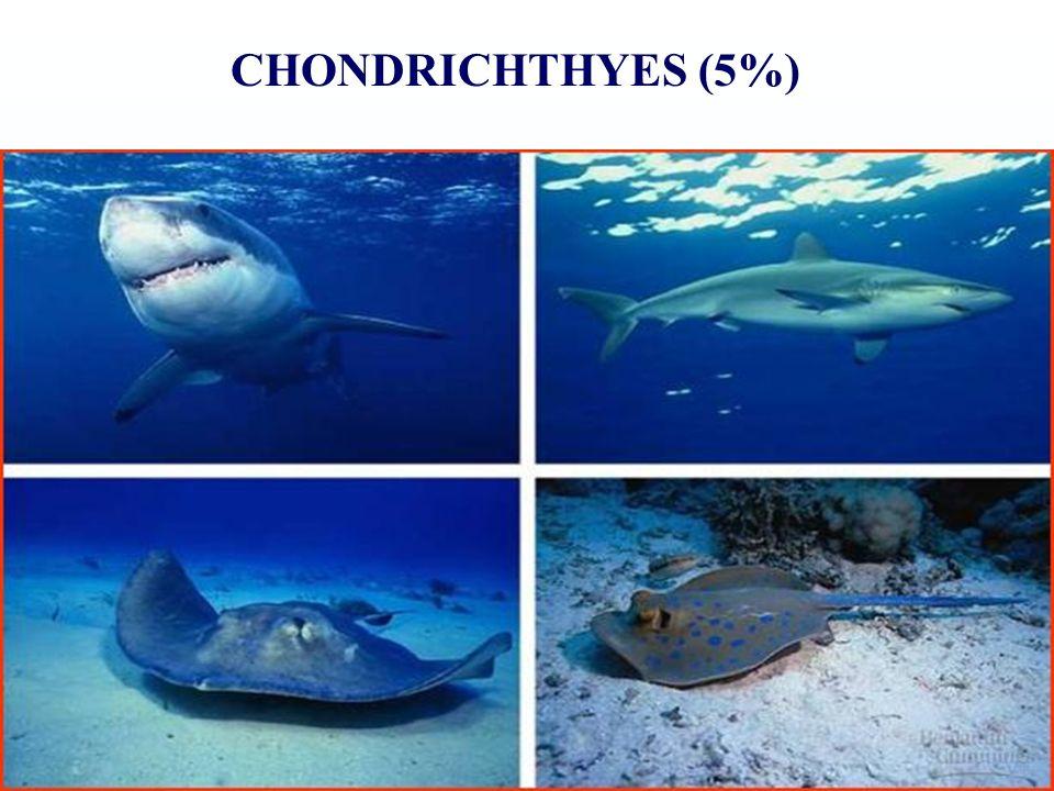 CHONDRICHTHYES (5%)