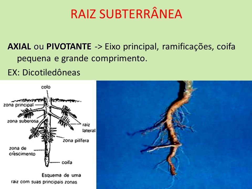 RAIZ SUBTERRÂNEAAXIAL ou PIVOTANTE -> Eixo principal, ramificações, coifa pequena e grande comprimento.