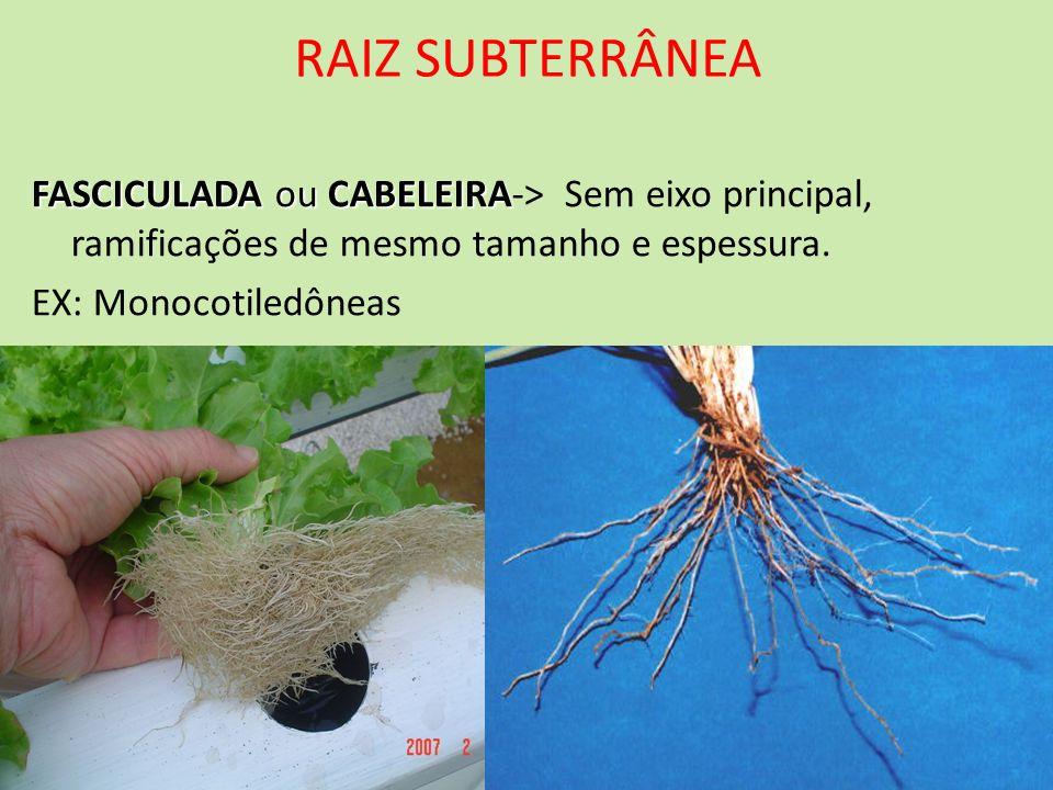 RAIZ SUBTERRÂNEAFASCICULADA ou CABELEIRA-> Sem eixo principal, ramificações de mesmo tamanho e espessura.