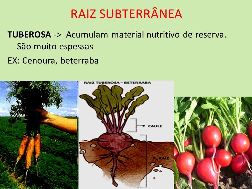 RAIZ SUBTERRÂNEATUBEROSA -> Acumulam material nutritivo de reserva.