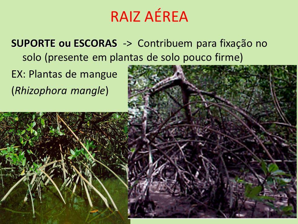 RAIZ AÉREASUPORTE ou ESCORAS -> Contribuem para fixação no solo (presente em plantas de solo pouco firme)