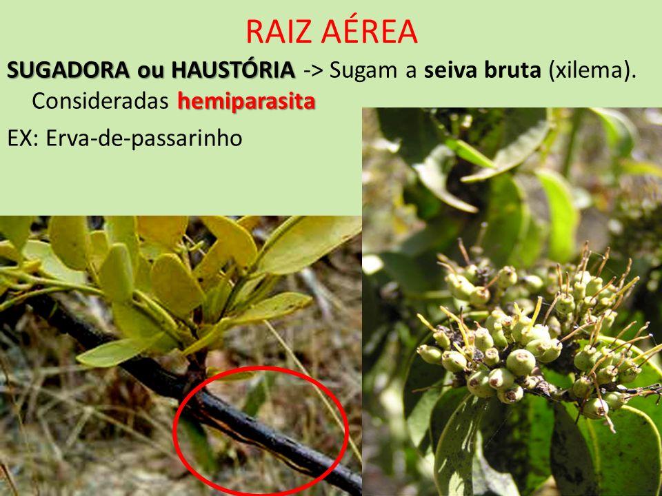 RAIZ AÉREASUGADORA ou HAUSTÓRIA -> Sugam a seiva bruta (xilema).