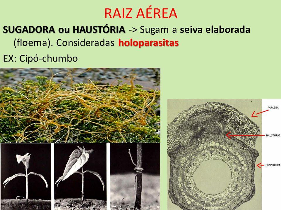 RAIZ AÉREASUGADORA ou HAUSTÓRIA -> Sugam a seiva elaborada (floema).