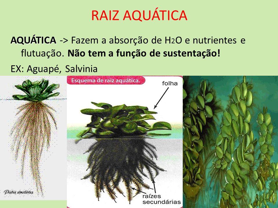 RAIZ AQUÁTICAAQUÁTICA -> Fazem a absorção de H2O e nutrientes e flutuação. Não tem a função de sustentação!
