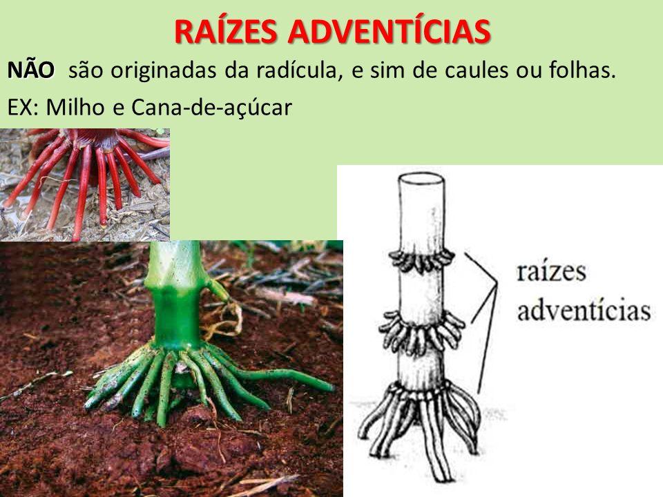 RAÍZES ADVENTÍCIASNÃO são originadas da radícula, e sim de caules ou folhas.