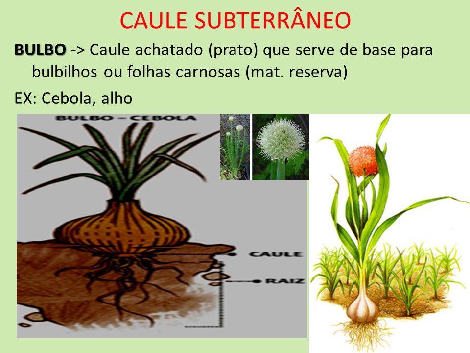CAULE SUBTERRÂNEOBULBO -> Caule achatado (prato) que serve de base para bulbilhos ou folhas carnosas (mat. reserva)