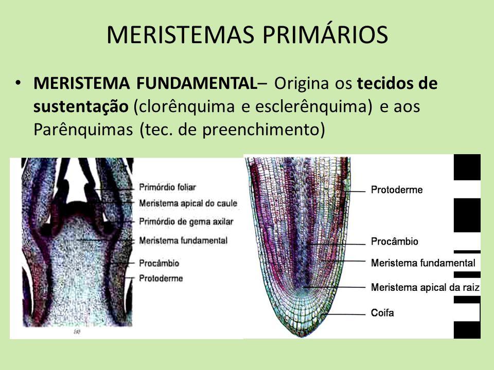 MERISTEMAS PRIMÁRIOS MERISTEMA FUNDAMENTAL– Origina os tecidos de sustentação (clorênquima e esclerênquima) e aos Parênquimas (tec.