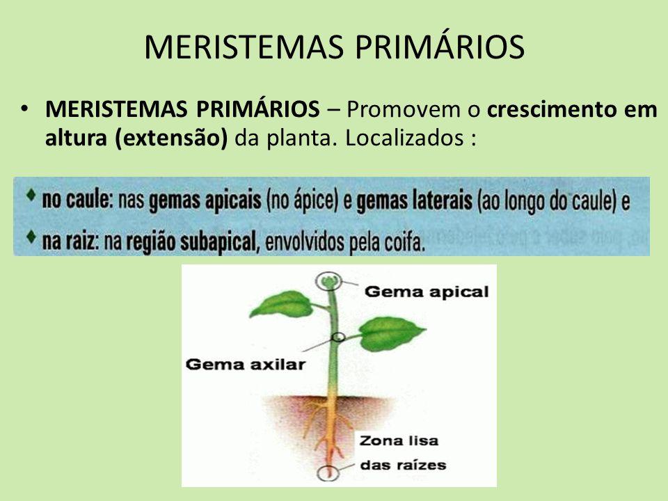 MERISTEMAS PRIMÁRIOS MERISTEMAS PRIMÁRIOS – Promovem o crescimento em altura (extensão) da planta.